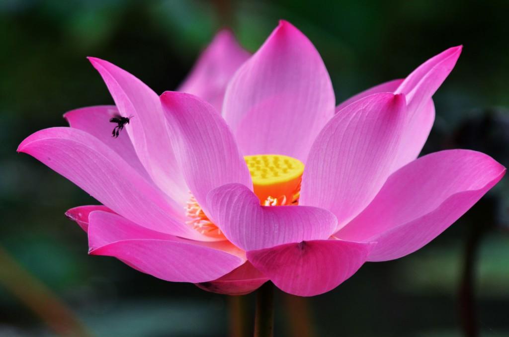 lotus-1688896_1280